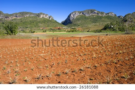 This image shows a pineapple field in Vinales, Cuba - stock photo