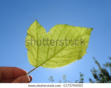 This image shows a raspberry leave mutation. The leave is held against the sun so you can clear see the vein structure of the leave against the blue sky.