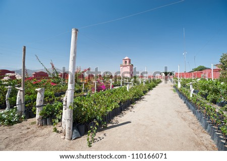 This image shows a vineyard in Ica, Peru