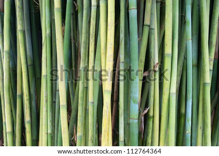 This image shows bamboo within Sydney's Royal Botanical Garden