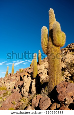 This image shows cactus on the border of Bolivia's Salar De Uyuni