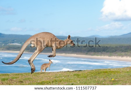 This image shows Kangaroos in Emerald Beach, Australia