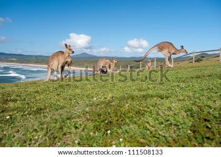 This image shows Kangaroos in Emerald Beach, Australia - stock photo