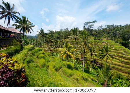 This image shows Rice Terraces near Ubud, Bali, Indonesia
