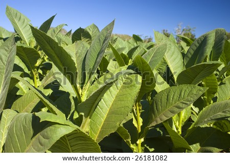 This image shows tobacco plants in Vinales, Cuba