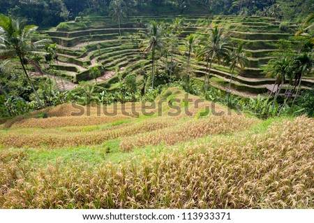 This image shows Ubud Rice Terraces, in Bali