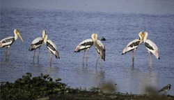 This image was taken in India. painted stork bird.