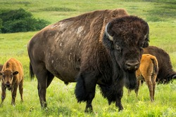 This impressive American Bison Portrait illustrates its sheer size and power. Photographed on the Kansas Maxwell Prairie Preserve.