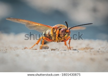 This intimidating looking insect looks like a hornet, but it's actually a Cicada Killer Wasp. They don't typically bother humans unless provoked. Stock fotó ©