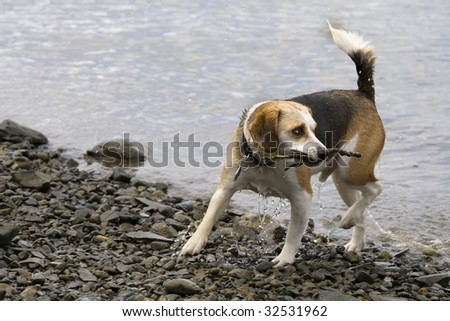 this is a beagle playing in the water