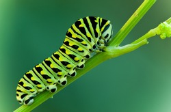 This is a black swallowtail larva on a celery stem (Papilio polyxenes)