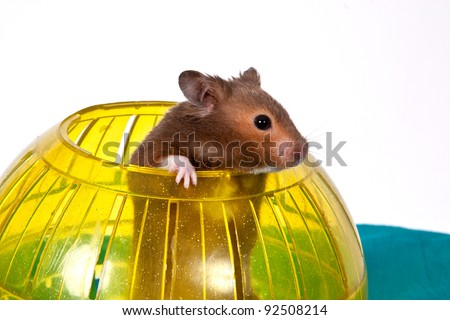 This is a Brown Hamster pooping his head and shoulders out of a Yellow Ball. The Blue bottom adds depth and a touch of Spring.