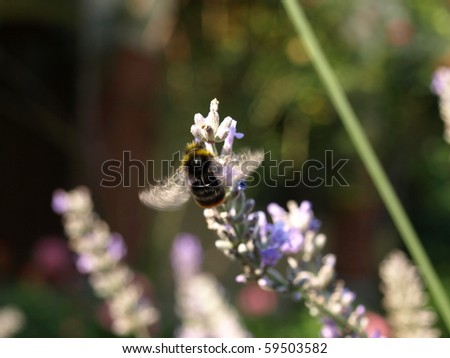 This is a bumblebee searching for pollen at a lavender plant. the wings are buzzing and you can see the business of the bumblebee.