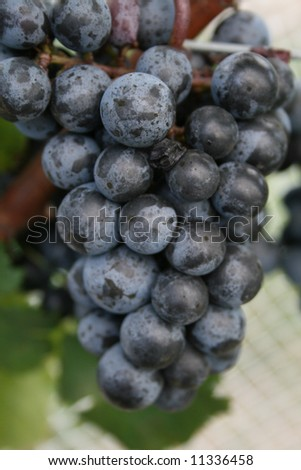This is a bunch of red wine grapes. syrah, shiraz, pinot noir
