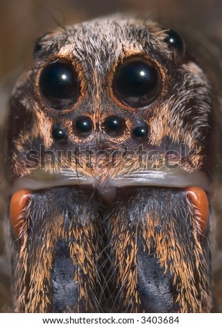 This is a close portrait shot of a female adult wolf spider.