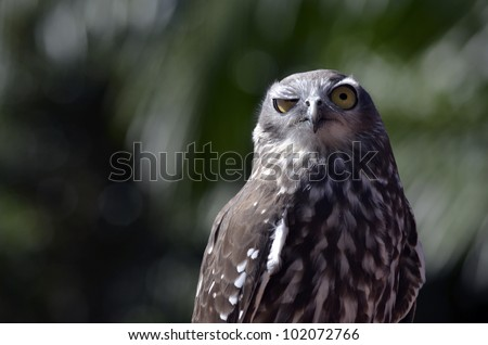 this is a close up of a barking owl - stock photo