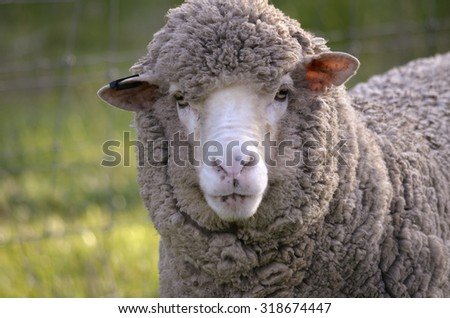 this is a close up of a sheep