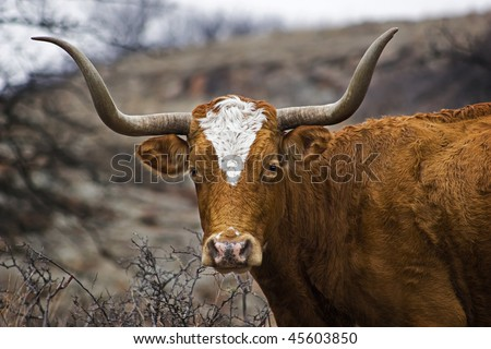This is a closeup portrait of a Texas Longhorn.