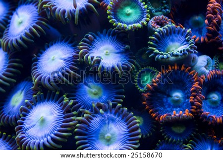 This is a colony of different colored zoanthid corals.