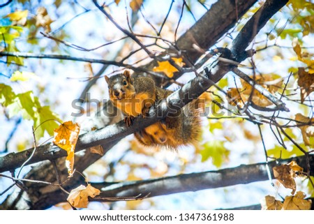 This is a color close up photo of a brown squirrel hanging over a tree branch in the air pointed towards and almost looking straight at the camera with a blurred background of leaves and sky.