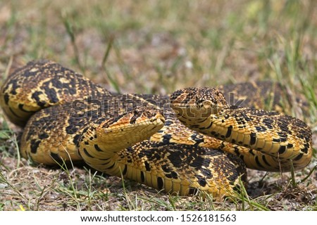 This is a contest for domination between two African Puff Adders. The snake that manages to push his opponent's head to the ground with his own will be the victor.  #1526181563