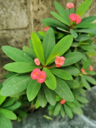 This is a Euphorbia milli flower,Crown of Thorns flower, Red and pink flower with thorns. Euphorbia milii Desmoul. thorn tree Crown of thorns plant,green leaf.thailand.