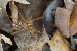 This is a female wolf spider carrying her young on her back.  Carrying the young on her ensure that some of her young survive.  They remain motionless on her back when frightened.