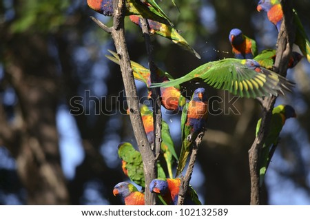 this is a flock of rainbow lorikeets