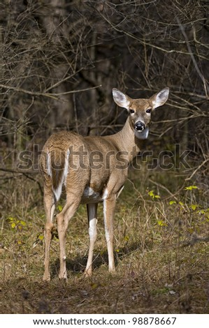 This is a full bodied photograph of a White-tailed deer doe  standing in front of some trees.