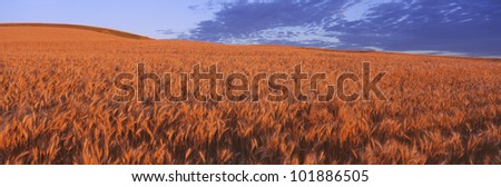 This is a golden field of wheat.