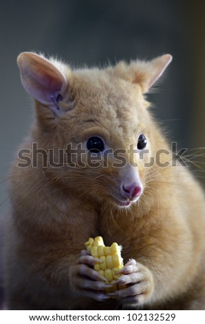 this is a golden possum on a log eating a carrot - stock photo