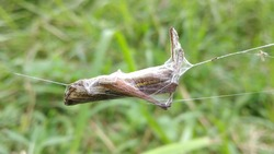 this is a grasshopper caught by the spider and rolled up with its finger