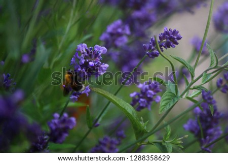 This is a image of a bee polonating a piece of lavender. This photo would create a lovely bacroung image for a tablet or PC and would even crop down for a phone.  Stock photo ©