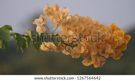 this is a kagaj yelow flower  Zdjęcia stock ©