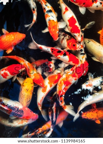 This is a koi carp fish #1139984165
