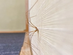This is a long-legged spider