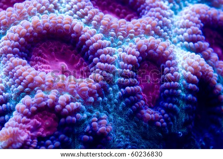 This is a macro photograph of a purple and blue closed brain coral (Favia sp.).