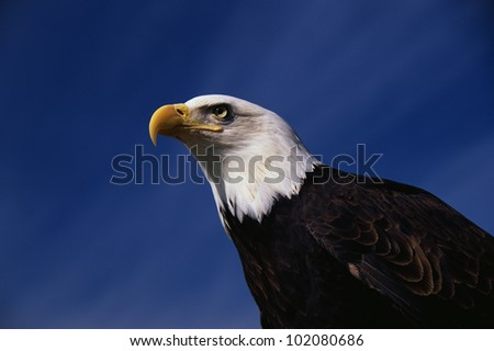 This is a mature American bald eagle. The image shows his upper body with his head and beak facing left, looking out.
