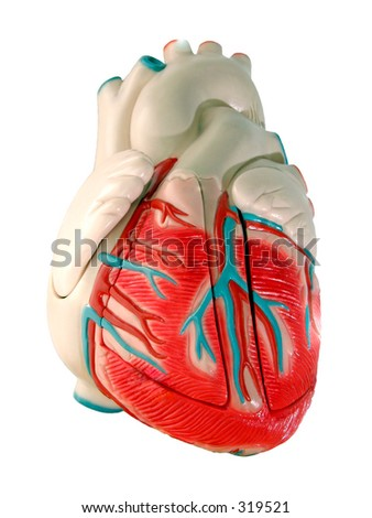 This is a medical (anatomically correct) model of the human heart, showing the ventricles and major vessels (aorta, other veins and arteries).