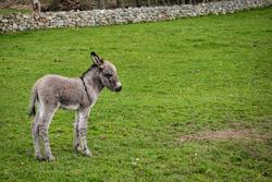 This is a newborn Donkey foal in a field in Ireland