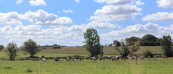 This is a pasture of cows on the farmland of Upper Normandy.