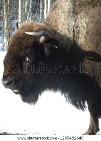 This is a photo of a bison in Elk Island National Park, AB.
