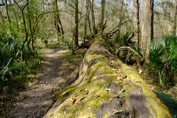 This is a photo of a downed tree on the nature trails at Acadiana Park in Lafayette Louisiana.