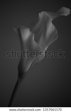 this is a photo of an elegant calla  #1357061570