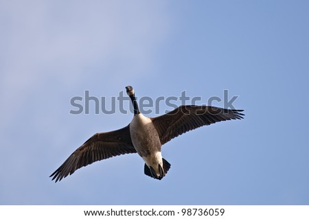 This is a photograph of a Canada Goose that is flying against a lightly clouded blue sky