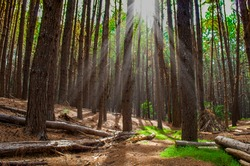 This is a photograph of a eucalyptus forest in Makawao, Maui, Hawaii. It is possible to see the tall trees and the sun's rays penetrating the forest.