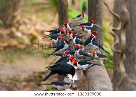 This is a Photograph of a Group of Cardinals Feeding in Pantanal, Brazil. They look like they are having a Nice , Lunch Time.