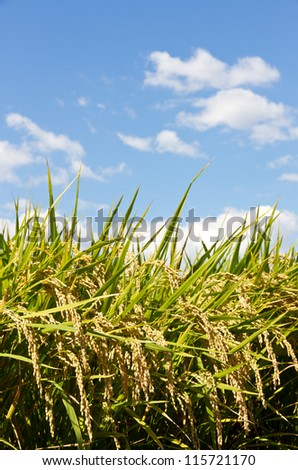 This is a photograph of a rice paddy field that I have taken in September.