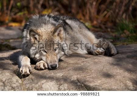 This is a photograph of a Timber Wolf lying down on a rock.