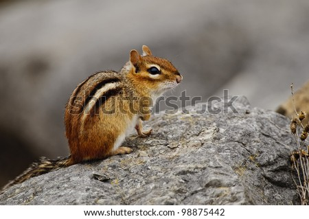 This is a photograph of an Eastern Chipmunk sitting on some rocks.